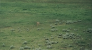 Proghorn @ Yellowstone 7/3/02