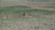 Prarie Dog, Wyoming 7/2/02