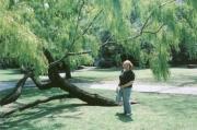 Big tree outside of Rockport 4/17/05